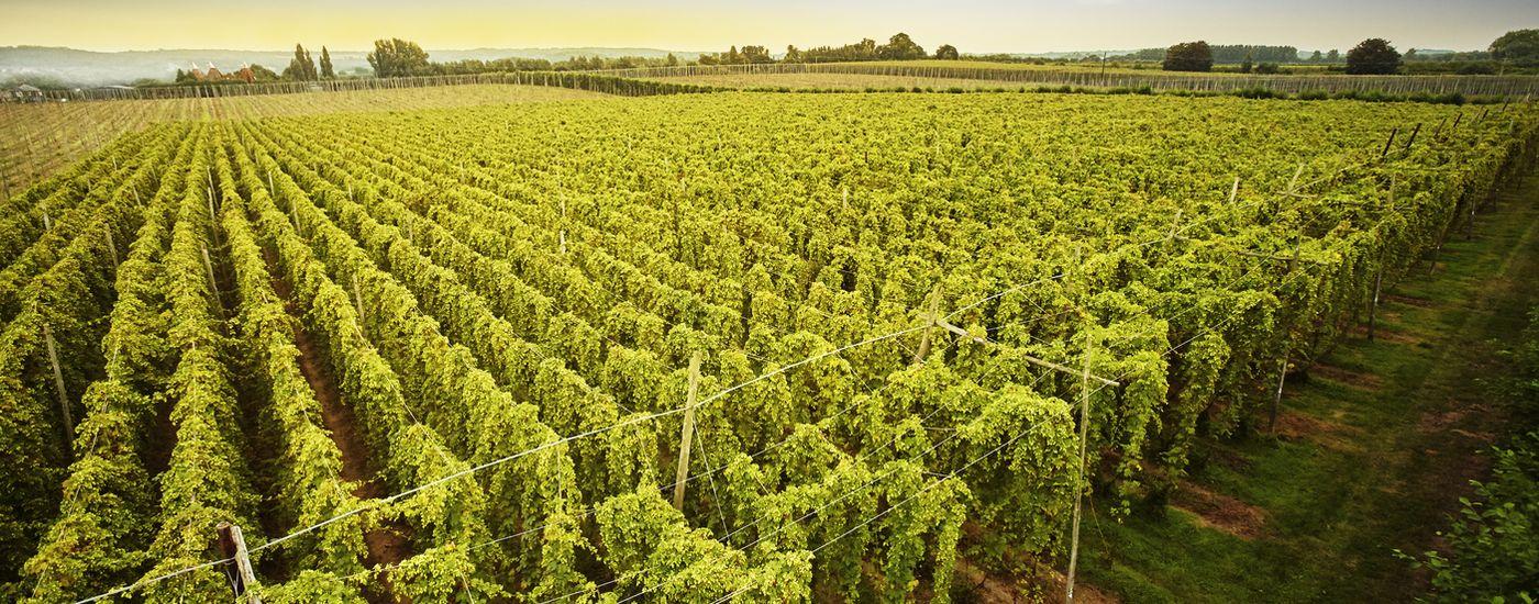 Shepherd Neame is supporting Kent hop growers