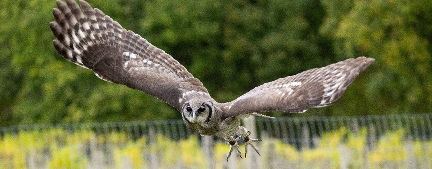 Groombridge Place bird of prey
