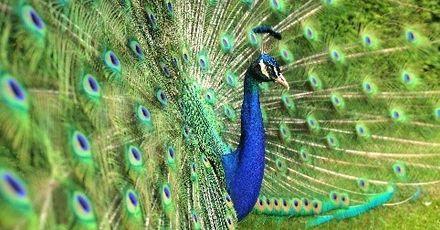 Groombridge Place Peacock