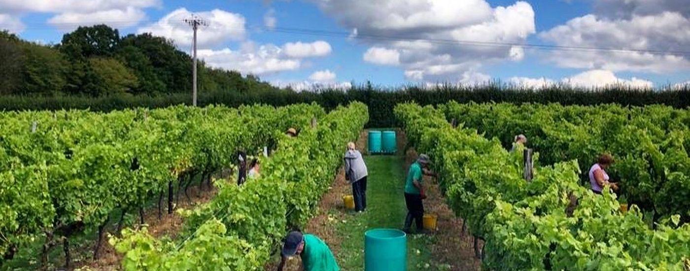 Biddenden Vine harvest