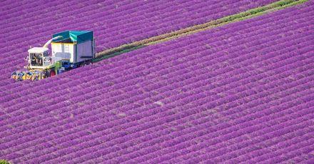 Castle Farm Lavender Harvest CROP