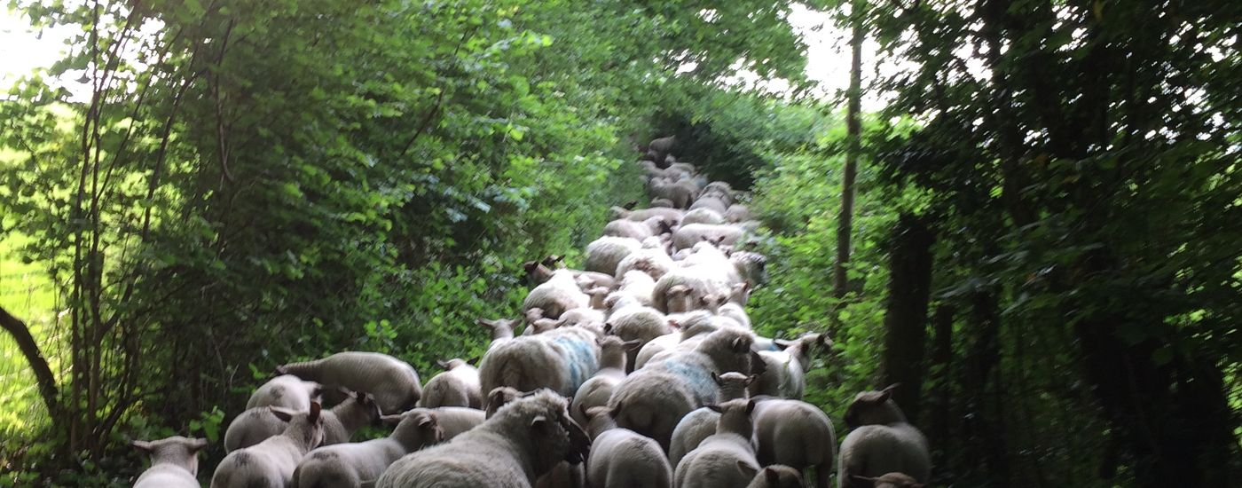 Hoopers Farm Coming home for shearing
