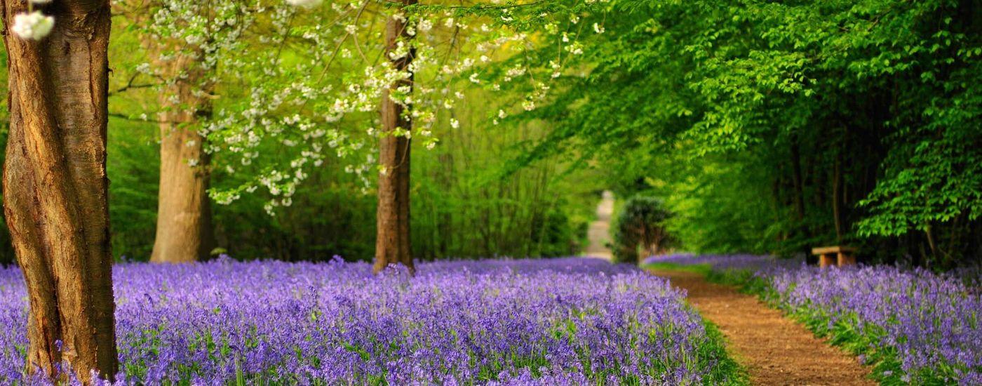 Hole Park Bluebells