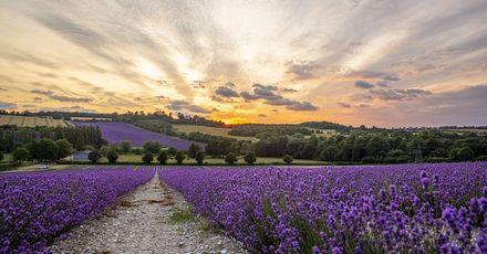 Castle Farm Lavender Fields 008